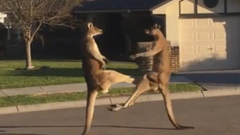 Imma Knock You Out- Kangaroo Street Fight