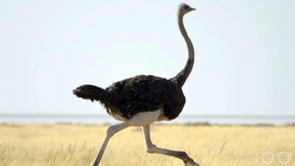 does the ostrich have a voice