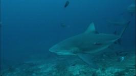 Fiji: Shark Diving