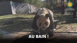 C'est l'heure du bain pour ce gros panda !