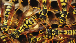 Thief Hides from Police in Wasps' Nest and Ends up in Hospital