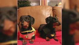 Cute: Batdog and Robin defeats a burglar