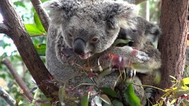 Koalas, Currumbin Wildlife Sanctuary, Gold Coast