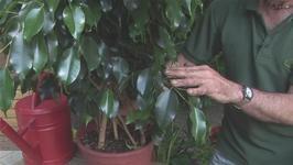 Gardening Fig Tree Care