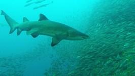 Grey Nurse Sharks, Fish Rock Cave, South West Rocks, NSW, Australia