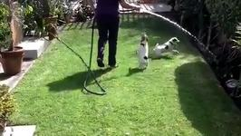 Jumping Jack Russell Terriers chase water from the hose