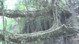 Discover the living root bridge in India's forests