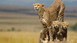 Can A Cheetah Roar?
