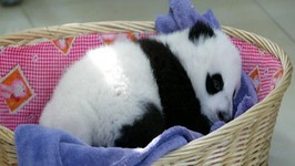 A Basketful Of Pandas- Cuteness Overload!