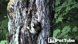 Raccoon and His Tree House - PetTube