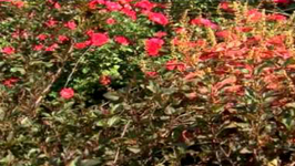 Knock Out Family Of Roses - Fall Color