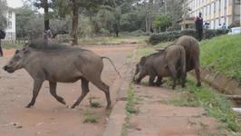 Students Battle Warthogs, Monkeys On Campus