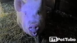 How Pigs Say Yum - PetTube