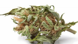 Paranoid Marijuana Traffickers turn themselves into Police