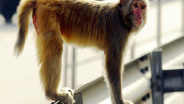Monkeys Escape From Research Facility In Puerto Rico