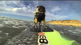 AFV Goes Pro Brandy The Surfing Pug Video By AFVAnimals Fawesometv - Brandy the award winning surfing pug