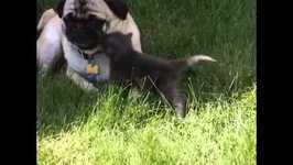 Adorable kitten cat tries to cuddle with pug dog