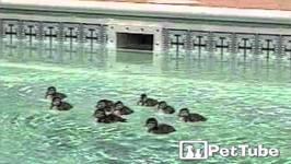 Ducklings Sneak into Neighbors Pool - PetTube
