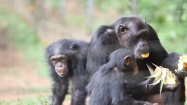 Cameroon Wildlife Sanctuary And Wildlife Refuge - Mefou And Ape Action Africa