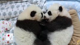 Public to Vote on Giant Panda Twin Names at Atlanta Zoo