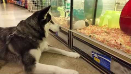 Husky watches mice play in a pet store