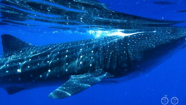 What Is The Biggest Whale?