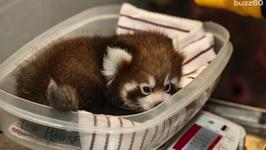 Adorable Red Panda Cubs Doing Well After Check-Up