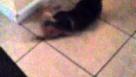 Cutest Orange Kitten Pissing Off Grouchy Cat