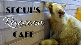 Raccoon Cafe in Seoul, Korea - (Blind Alley Cafe)