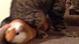 Vengeful Cat Refuses To Share With Guinea Pig