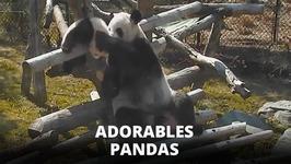 Trop mignon : un bb panda et sa mre s'clatent