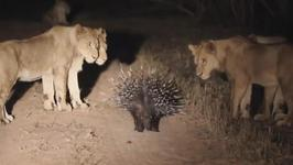 Incredible - Brave Porcupine Fights Off 17 Lions