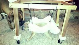 Disabled Puppy Heals In Baby Bouncer. Cuteness Overload