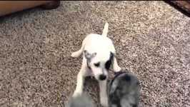 Adorable Jack Russell Terrier puppy bites woman's dress