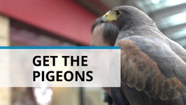 Falcons To The Rescue : How To Rid Cities Of Pigeons