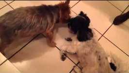 Yorkie and Shih Tzu dogs kiss each other