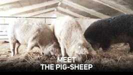 Pig-sheep: Saved from extinction, turned into ham