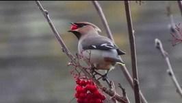 Canada Puts Birds Drunk on Fermented Berries in Mini 'Drunk Tanks