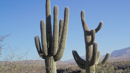 Do Cacti Have Leaves?