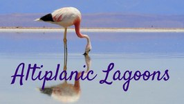 Travel Adventures In The Atacama Desert - Altiplano Lagoons And Flamingo Reserve