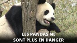 La bonne nouvelle de l'anne : les pandas sont sauvs !