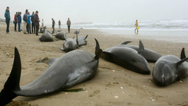 Beached Whales Fuel Japan Quake Fears