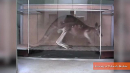 Researchers Call The Kangaroo World's First Five-Legged Animal