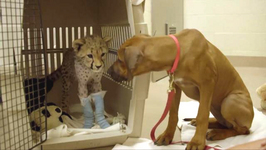 Dog Waits in Operating Room During Best Friend Cheetah's Procedure