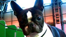 How To Know About Boston Terrier