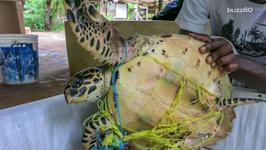 Detangled Turtle Doesn't Want to Leave Rescuers