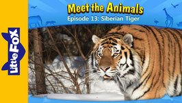 Meet the Animals 13 - Siberian Tiger - Animated Stories by Little Fox