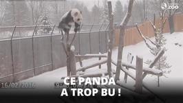 Da Mao le panda fait son numro au zoo de Toronto