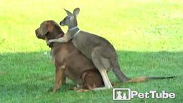 Kangaroo Whispers in Dogs Ear - PetTube