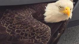 Bald Eagle Survives Being Trapped in Car Grille After Hurricane Matthew